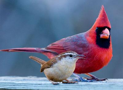 cardinalwithwren.jpg