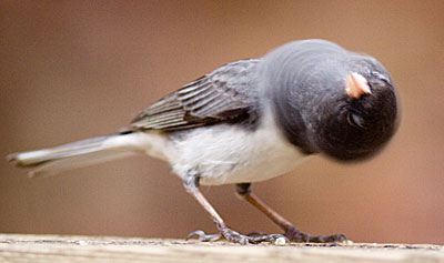junco_spinninghead