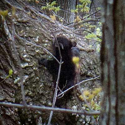 bear_withcubs05