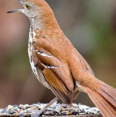bird_thrasher01