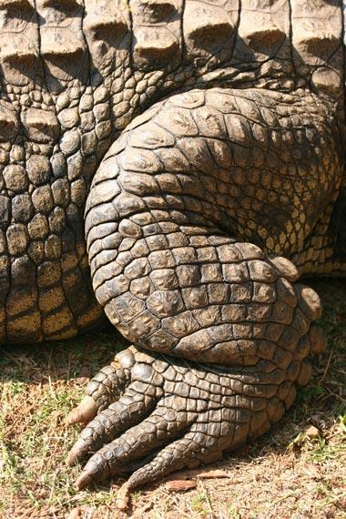 crocodile_leg