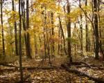 yellow_woods01