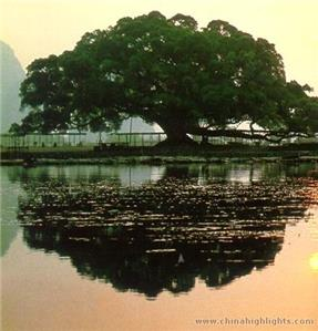 yangshuo-big-banyan-tree